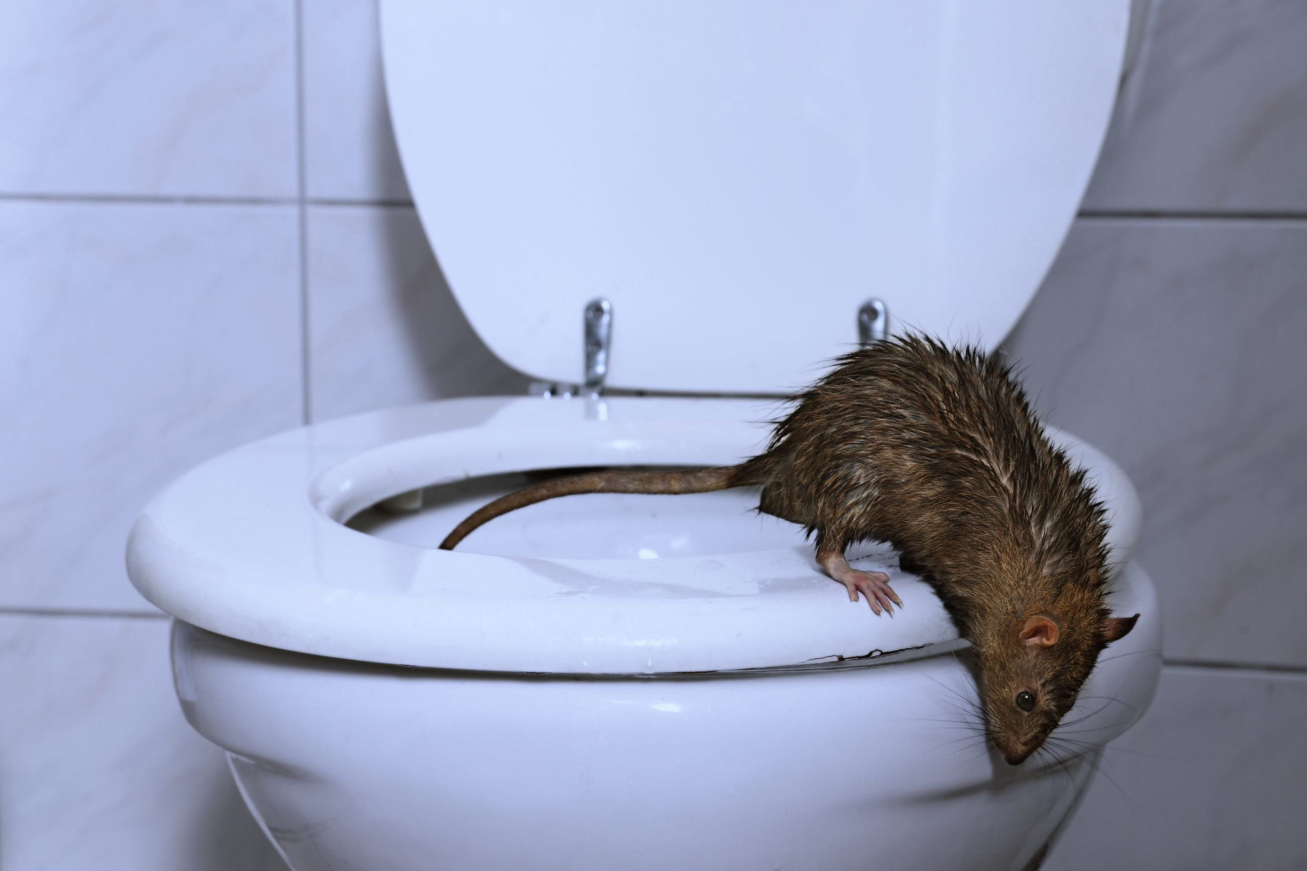 How To Keep Rats From Coming Up The Toilet