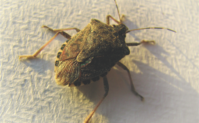 Stink Bugs Down The Toilet